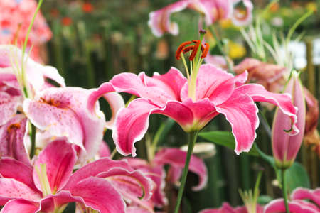 Pink lilly flower in the garden. Spring day for postcard, beauty decoration and agriculture concept design.