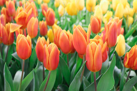 Tulip flower with green leaf background in tulip field at winter or spring day for postcard, beauty decoration and agriculture concept design. Zdjęcie Seryjne