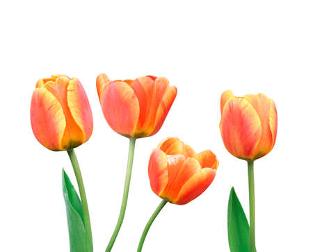 Set of tulip flowers with green leaf isolated on white background. Winter or spring day for postcard beauty decoration and agriculture concept design.