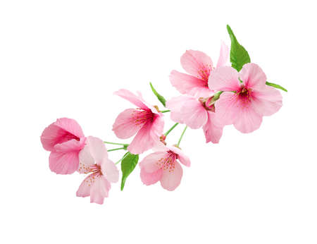 Branch of sakura with flowers and leaves isolated on white background.  Cherry blossom spring design.