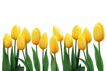 Set of yellow tulip flowers with green leaf isolated on white background. Winter or spring day for postcard beauty decoration and agriculture concept design. Zdjęcie Seryjne