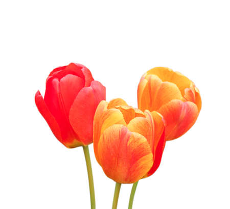 Set of tulip flowers on white background. Winter or spring day for postcard beauty decoration and agriculture concept design. Banco de Imagens