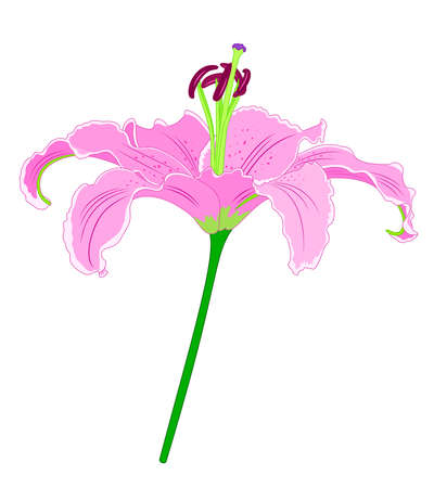 Single pink lilly flower. Vector illustration.