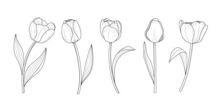 Hand draw set of tulips branches. Flower outline style. Vector illustration.