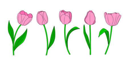 Five pink tulips flower. Vector illustration.