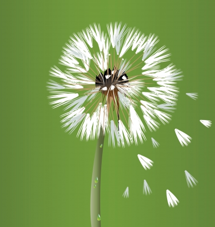 Dandelion blossom flower vector Vector