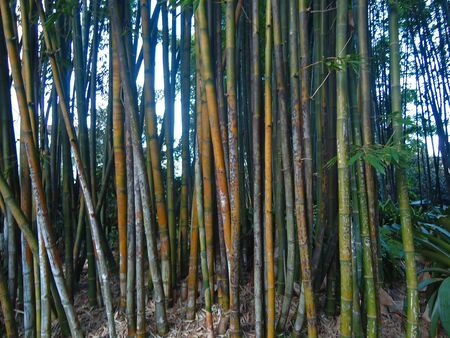 Bamboo plants Stock Photo - 17328767