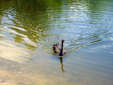 Black swan in the pond picture background  photo