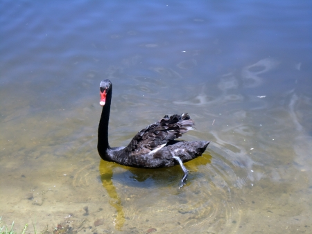 Black swan swimming picture background photo
