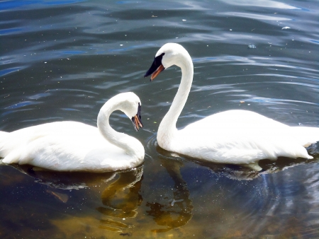Swans in love picture background