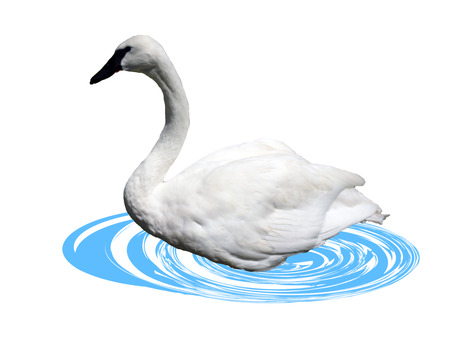 Beauty White Swan isolated Background photo