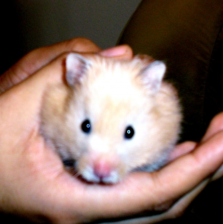 Teddy Bear Hamster on hands         photo