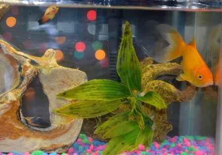 freshwater aquarium plants: Comet goldfish and guppy fish Stock Photo