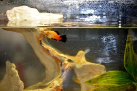 freshwater aquarium plants: Guppy fish pet