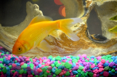 Comet goldfish pet photo