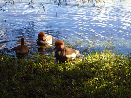 Redhead ducks  photo