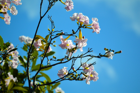 Cherry tree branches flowers in the spring. Isolated against blue sky background photo Stock Photo