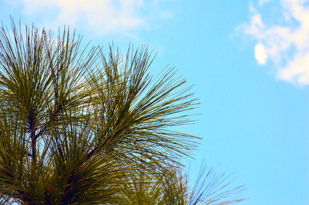 Pine tree with blue sky background photo photo
