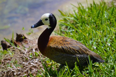 Duck on lake. White-faced whistling duck