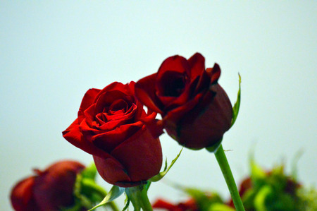 long stem roses: Red Roses picture background image Stock Photo