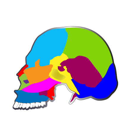 parietal: The bones of the human skull,  functions, structure and anatomy of skull. Illustration