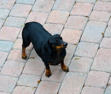 royalty free photo: Dachshund Dog photo Stock Photo