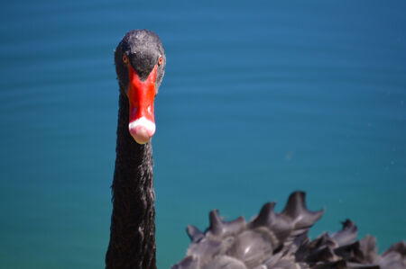 Black swan with red peak on blue lake picture photo