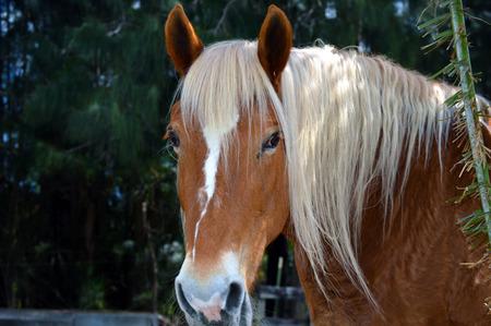 draft horse: Horse portrait picture