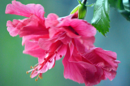 Pink hibiscus flower-Florida USA photo