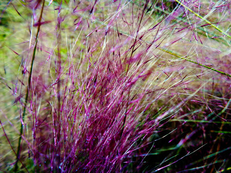 Fountain grass plant. Pennisetum messiacum or Red Bunny Tails photo