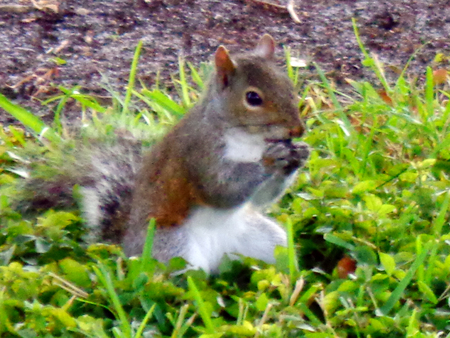Squirrel eating a nut on grass picture background photo