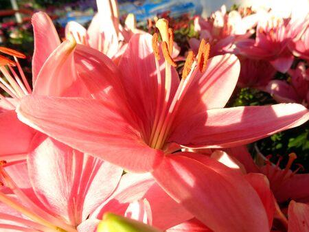 gazer: Stargazer Lilies