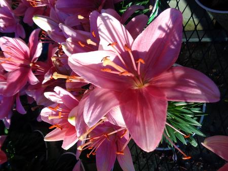 gazer: Star gazer Lilies Stock Photo