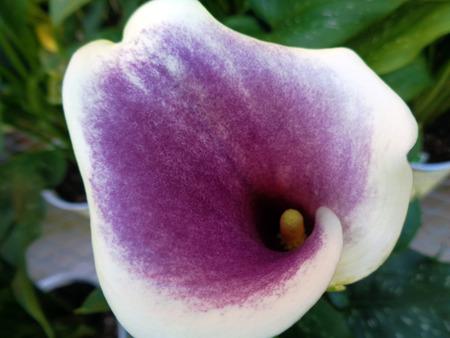anthurium: Purple anthurium calla lily flower