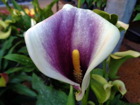 anthurium: Purple anthurium flower