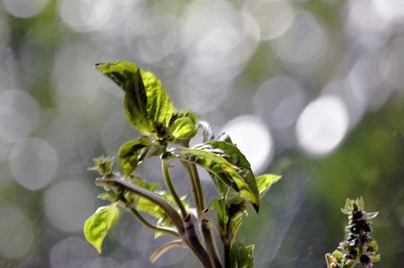 Basil flower web background with bokeh photo