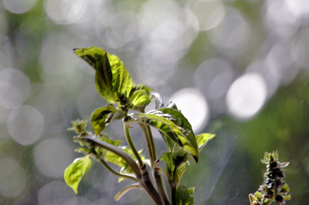 Basil flower web background with bokeh