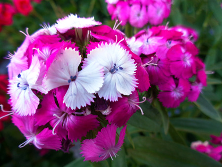 american media: Petunias pink flowers picture background