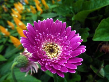 closeup of pink daisy with: Daisy Pink Gerbera flower
