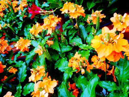 lily flower: Spring primrose orange flowers