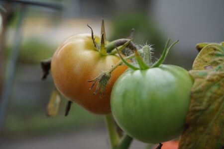free stock images: Ripe tomatoes in a plant