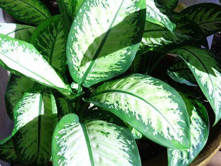splotchy: Arrowhead Plant or Diffenbachia maculata