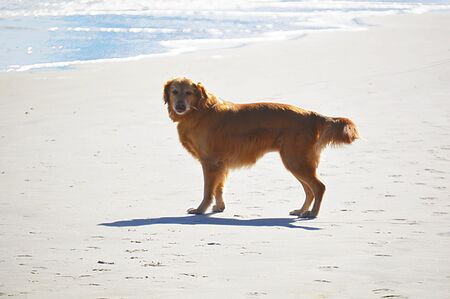 Dog puppy english setter running at the beach