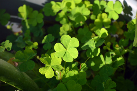 four leaved: Shamrock green leafs clover picture background