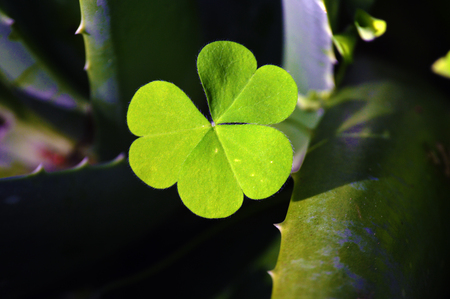 four leaved: Shamrock green leafs clover picture on white background
