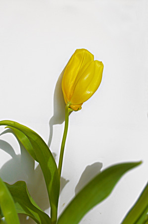 leaf: Spring tulip on a white background