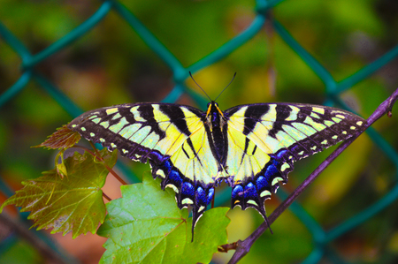 leaf: butterfly Eastern Tiger Swallowtail Butterfly Stock Photo