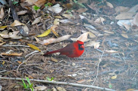 rest in peace: Cardinal red bird picture