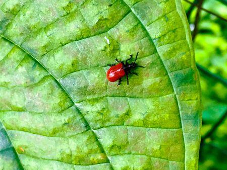 Ladybug on a green leaf Standard-Bild