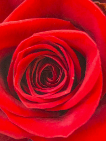 Red rose picture background Stock Photo